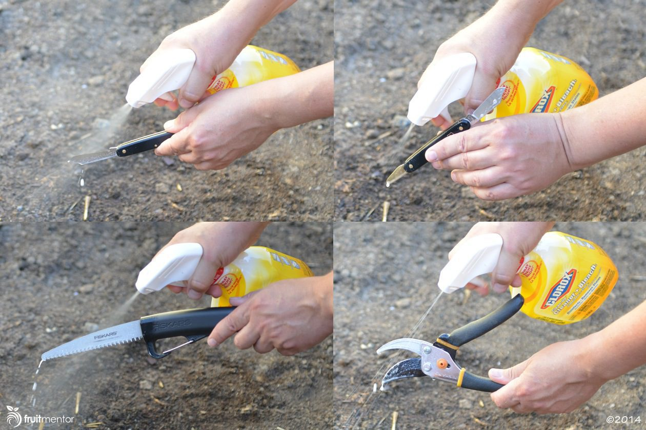 Spraying grafting tools with Clorox Clean-Up