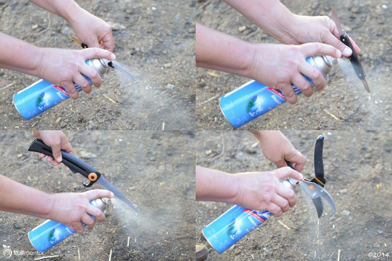 Spraying grafting tools with Lysol