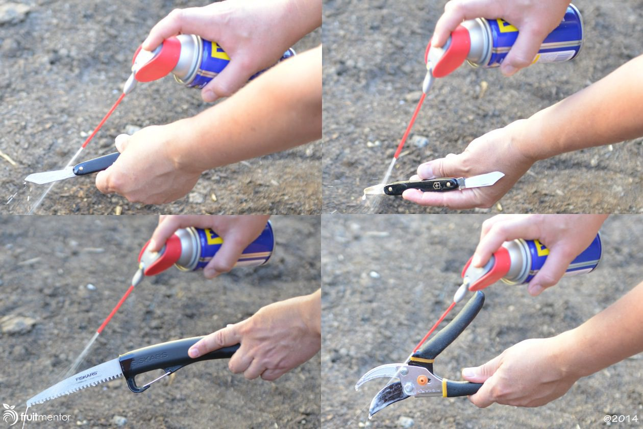 Spraying grafting tools with WD-40 after disinfecting with Clorox will prolong the life of the tools.