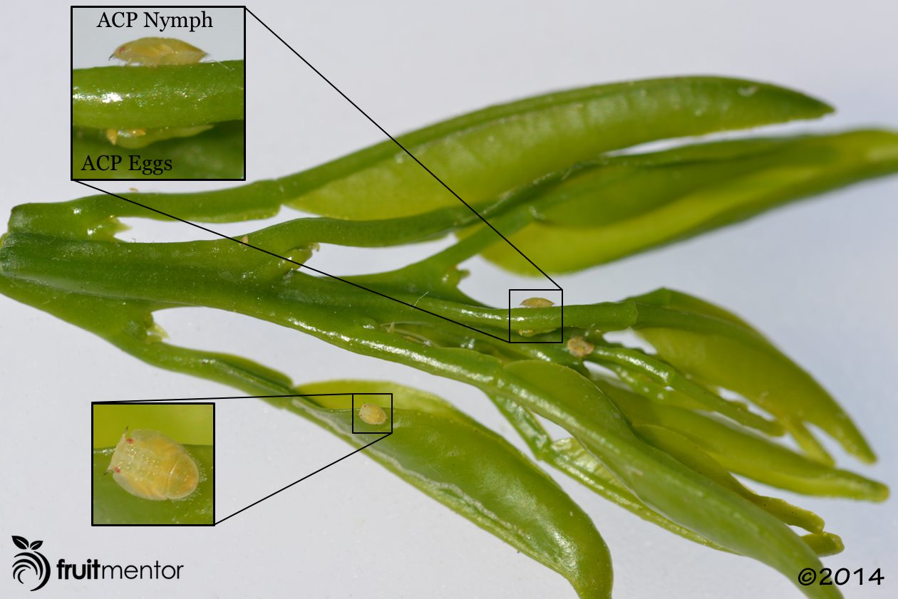 Asian Citrus Psyllid nymphs and eggs.