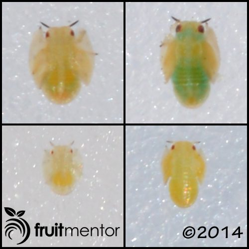 Asian Citrus Psyllid nymphs at various stages of development.