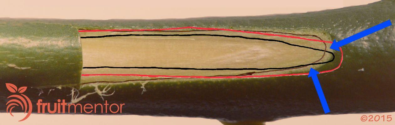 ตาจะประสานติดกัน โดยชั้นเนื้อเยื่อของตาต้องสัมผัสกับชั้นเนื้อเยื่อของลำต้น