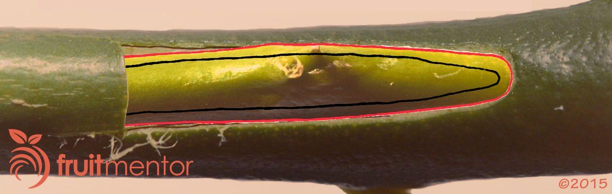 พืชตระกูลส้มที่ถูกสอดแผ่นตาเข้าไปยังลำต้นและประสานกันด้านนอกเปลือกไม้
