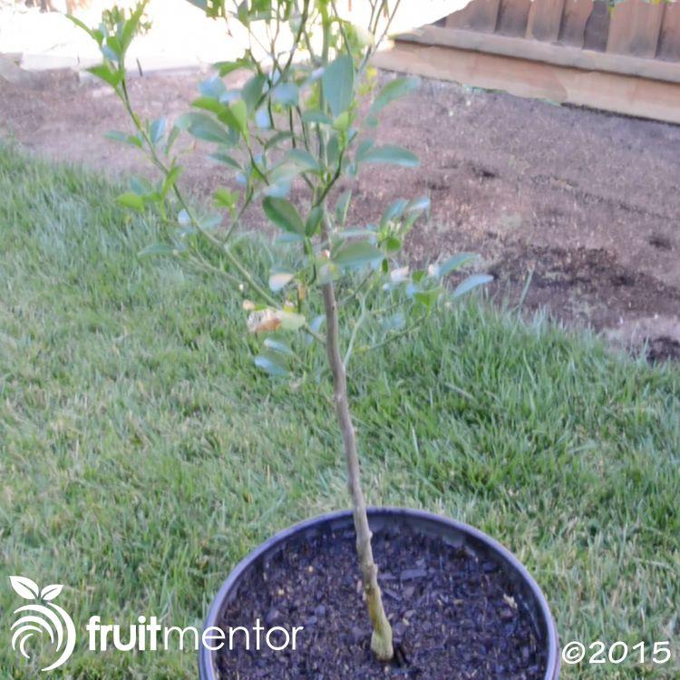 ผมจะตอนกิ่งลำต้นของต้นส้มคาริซโซให้ดู