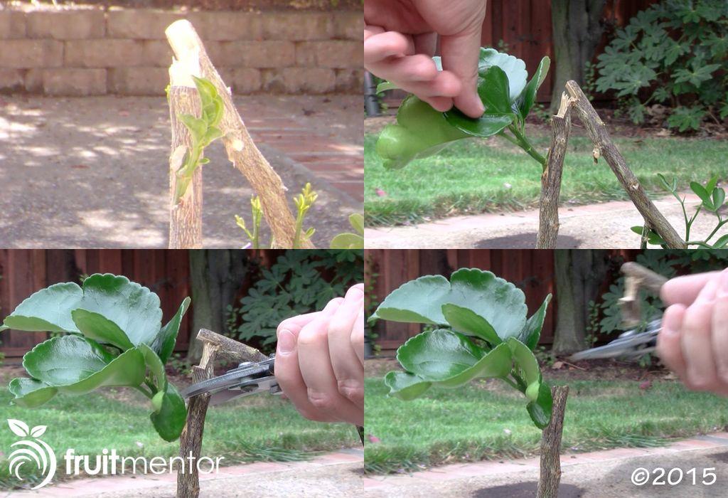 การตัดยอดของลำต้นคาริซโซ่