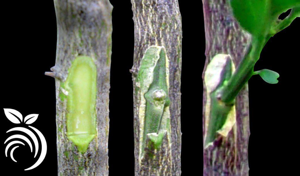 В этом пошаговом руководстве показано, как прививать цитрусовые деревья прорастающим глазком.