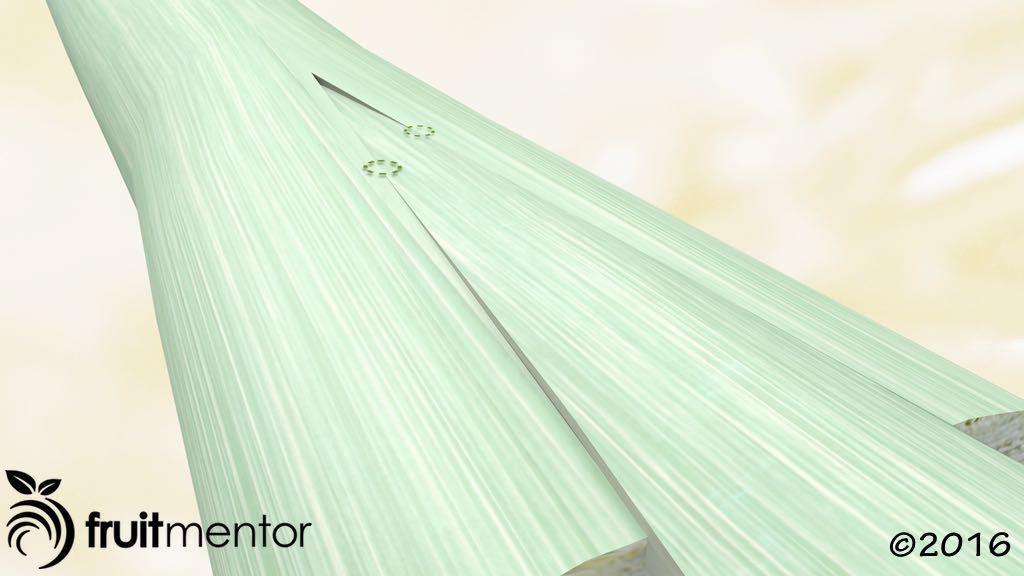 劈接法中形成层有两点接触的图示。