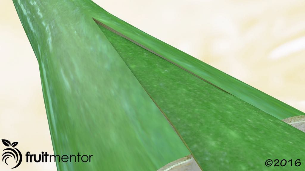 Minh họa của một mối ghép nêm cho thấy hom cây khi nhìn xéo