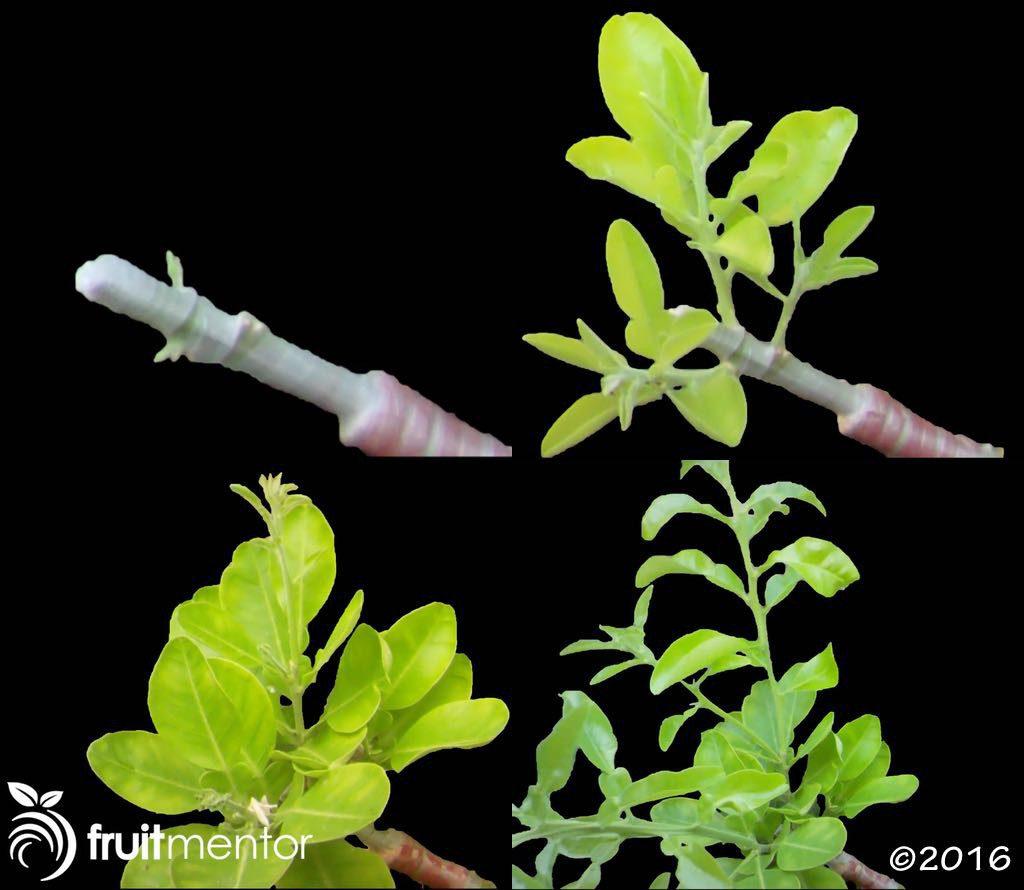 Chồi ghép phát triển sau bốn tháng trên cây bưởi đa giống