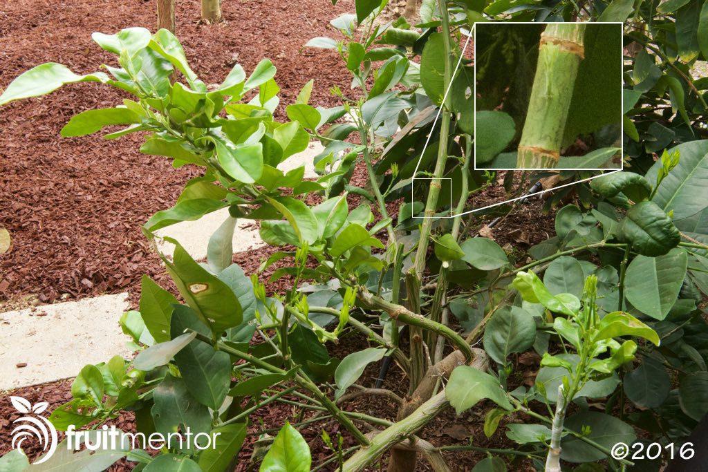 有4个品种的嫁接柚树。沙捞越柚嫁接枝从照片中下部一直延伸到左上部。第二个柚树品种已经使用补片芽接的方式完成嫁接,在照片中看起来也长得不错。在右下角的地方可以看到另外一个用劈接法嫁接的柚树品种的嫁接枝。