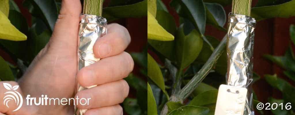 접목된 어린 가지를 햇빛으로부터 보호 하기 위해서, 알루미늄 호일로 쌌습니다