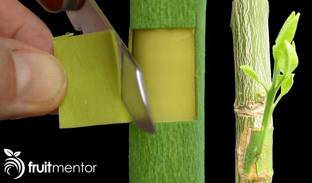 단계별로 자세하게 감귤류 나무 접목을 덮눈접으로 하는 방법을 보여드립니다