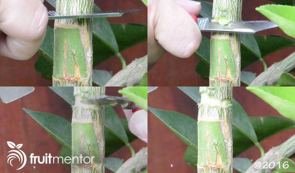 싹 위에 껍질 제거하여, 자라게 유도하기