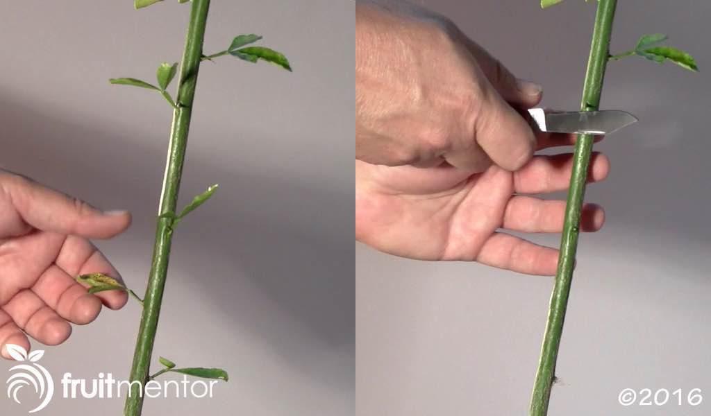 Retirar las hojas y espinas.