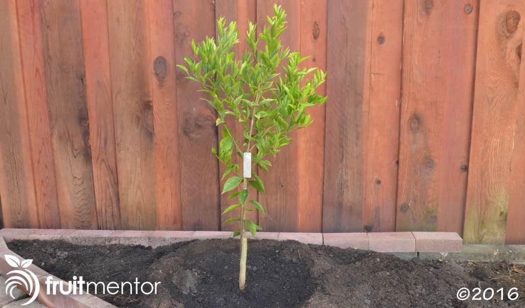 Finished avana Tardivo mandarin orange tree