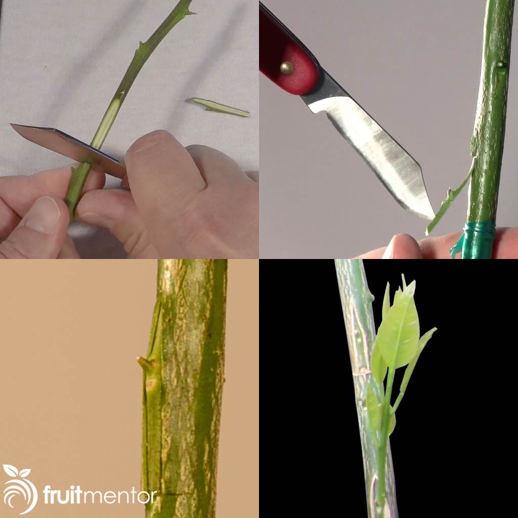 Asexual plant propagation cleft grafting citrus
