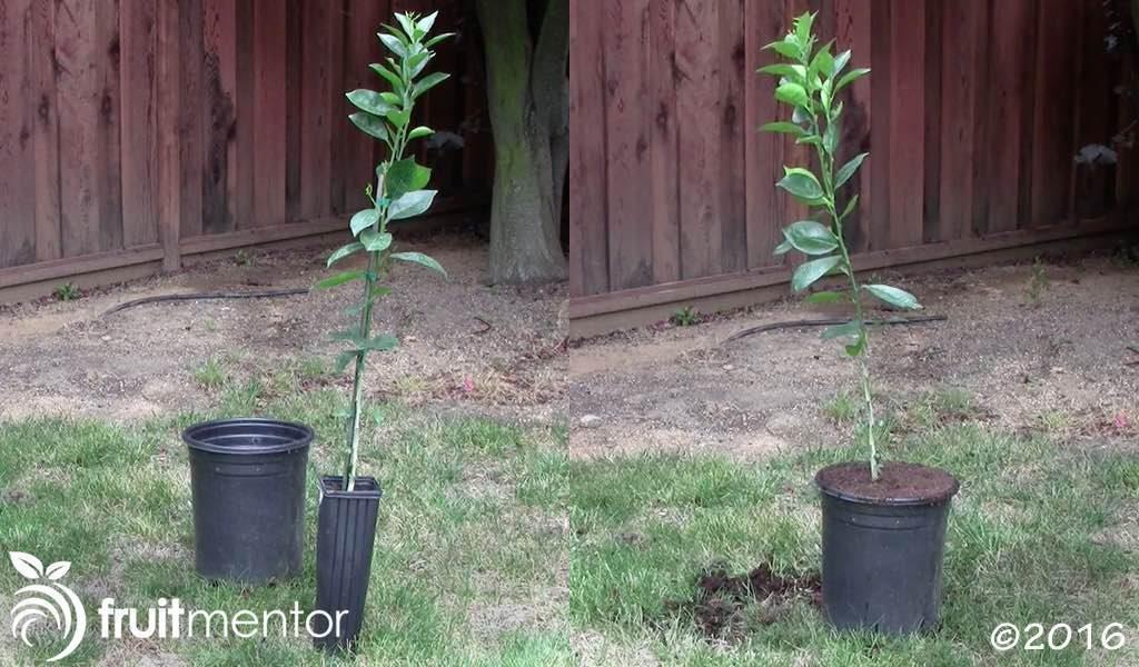 Orange tree rootstock