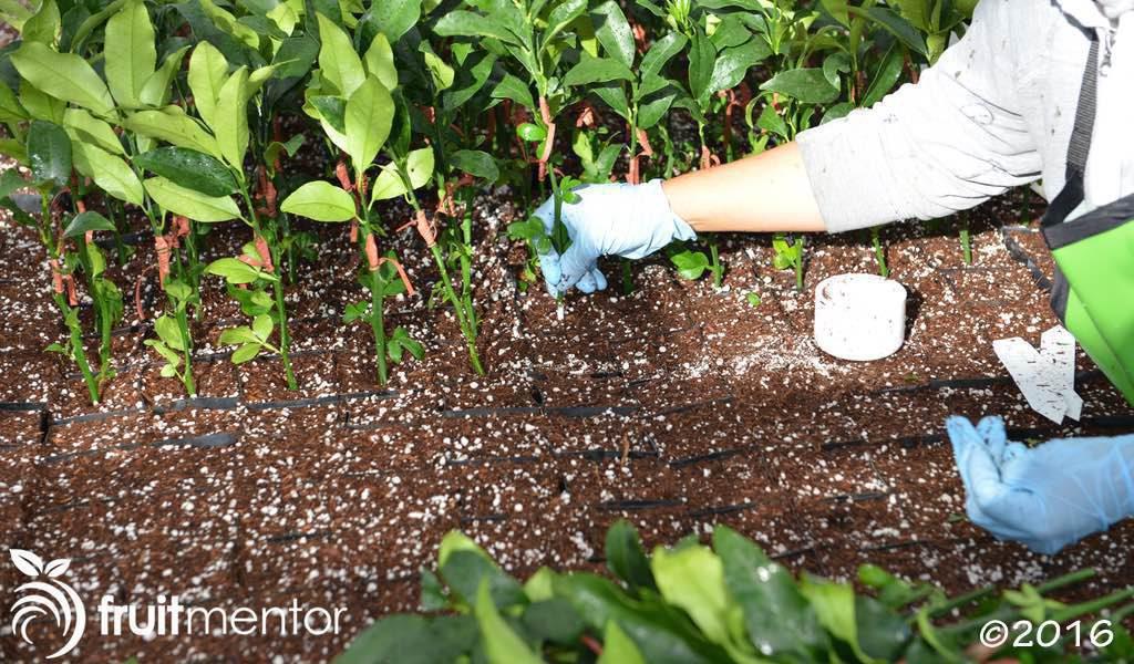 Áp dụng thuốc kích thích rễ và trồng vào đất