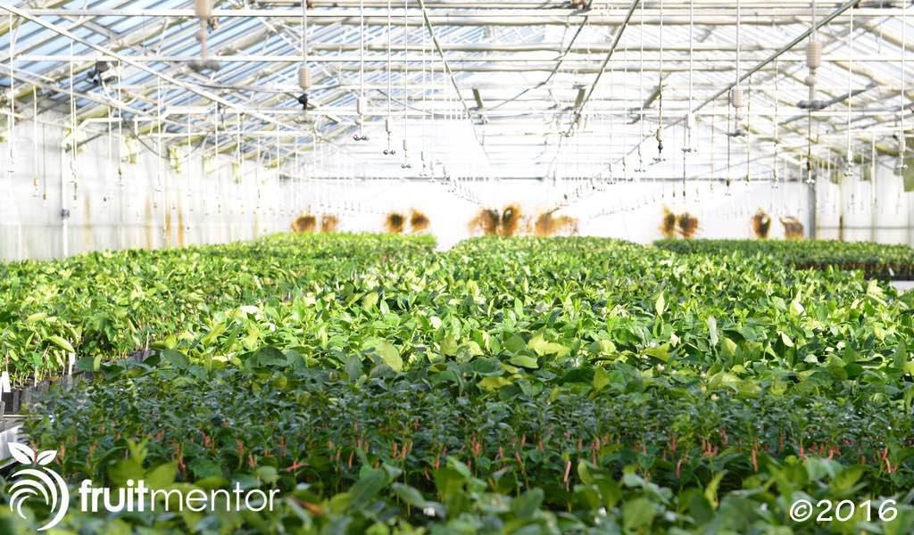 Cành cam quýt đang ra rễ được trồng trong một cấu trúc chống côn trùng.