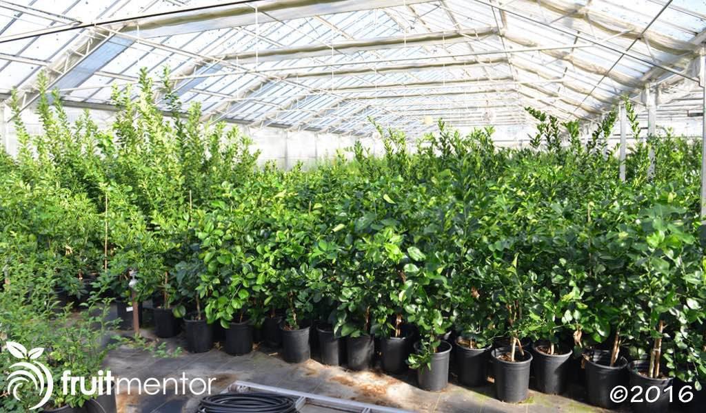 Đây là những cây trồng để cung cấp chồi giống cam quýt