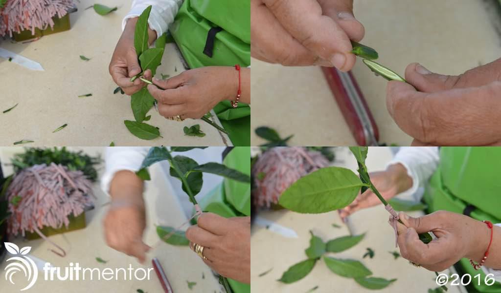Xử dụng phương pháp ghép đôi để nối liền giống ghép và gốc ghép