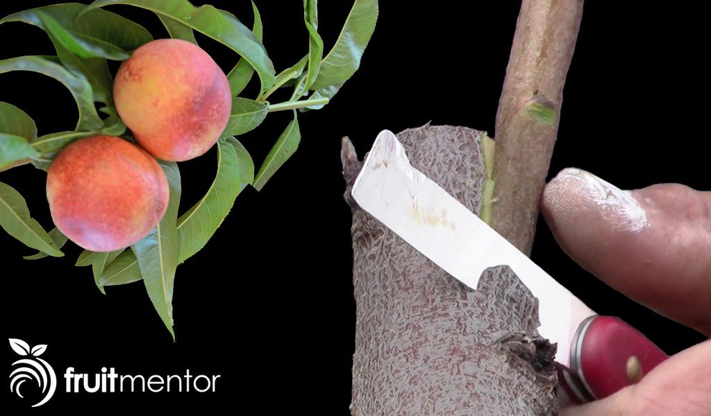 Injerto lateral de árboles frutales