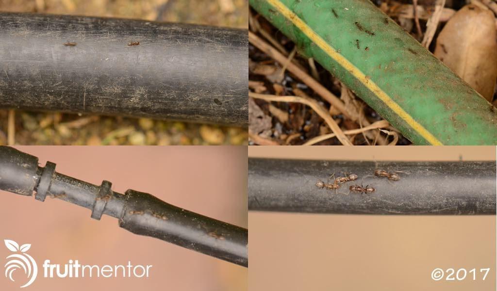 Kiến Argentina trên các ống dẫn nước