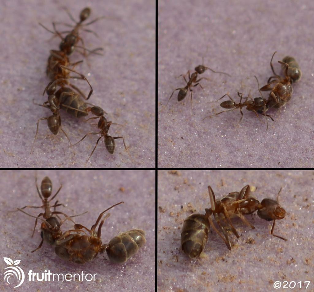 Kiến thợ kéo xác kiến chúa Argentina