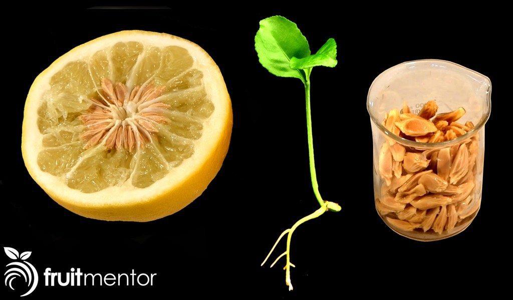 Các nhà khoa học California đang nhân giống cây cam quýt và cho nảy mầm các hạt lai tạo thành để khắc phục căn bệnh chết chóc.