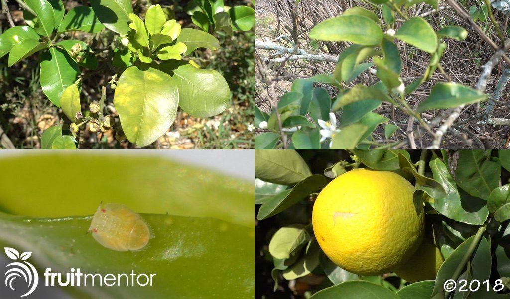 아시아 감귤류 프실라는 황룡병(HLB)을 퍼뜨려 감귤류 나무를 죽이고 감귤류 과일의 맛을 나쁘게 만듭니다.