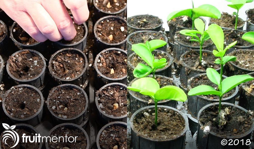 개량된 씨앗을 심고 재배하기