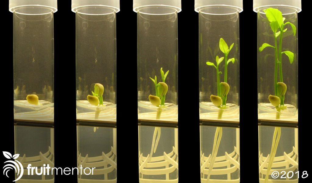 일부 품종의 감귤류 씨앗은 모체의 다양한 복제품을 생산할 수 있습니다.