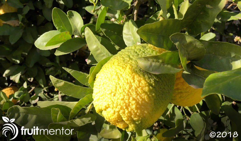 柑橘砧木树结出口感差的果实。