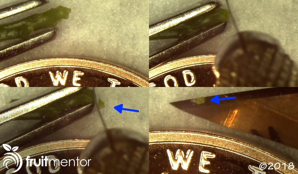 Cutting the apical meristem off of the citrus shoot tip.