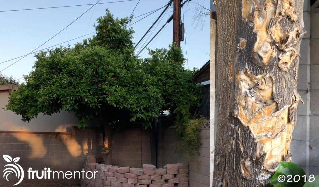 被忽视的脐橙树。