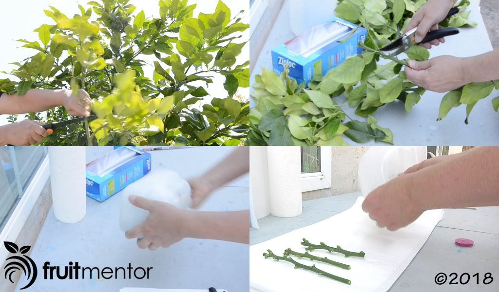 Preparing citrus cuttings for shipment to the CCPP.
