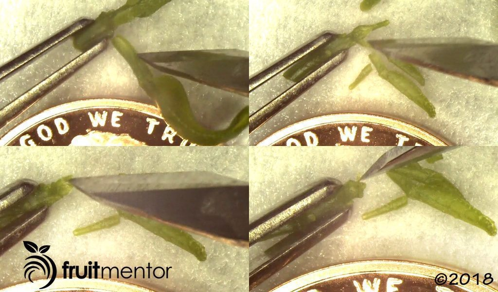Removing leaves and leaf primordia from the citrus shoot tip.