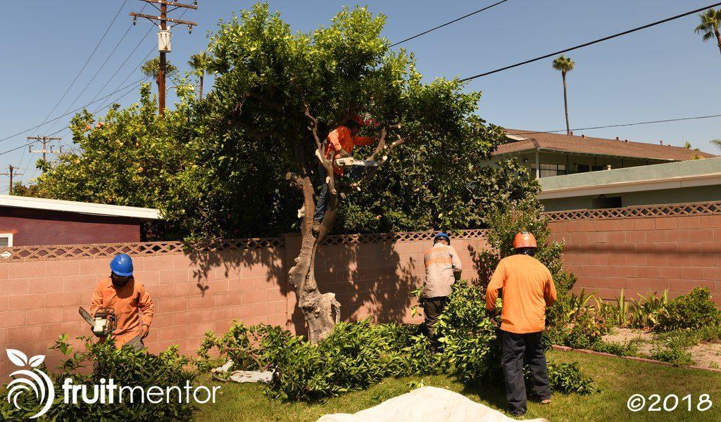 专业的树木服务公司,正在加利福尼亚州的HLB隔离区内移除不需要的柑橘树。