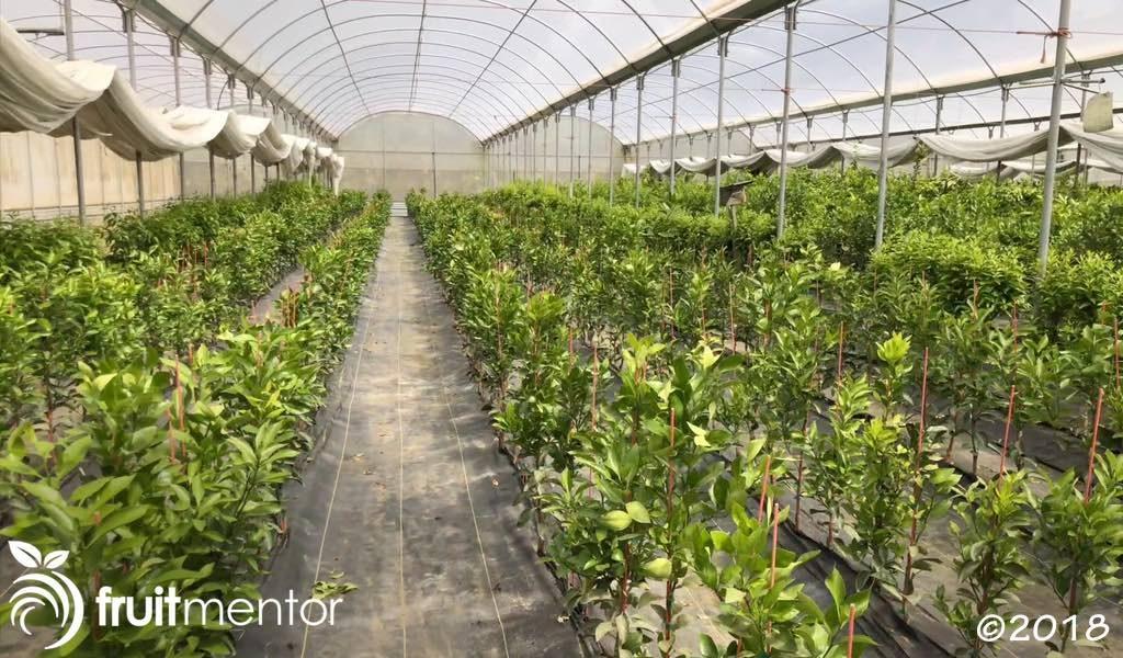 La yema de estas plantas de incremento se utiliza para injertar árboles cítricos para la venta.