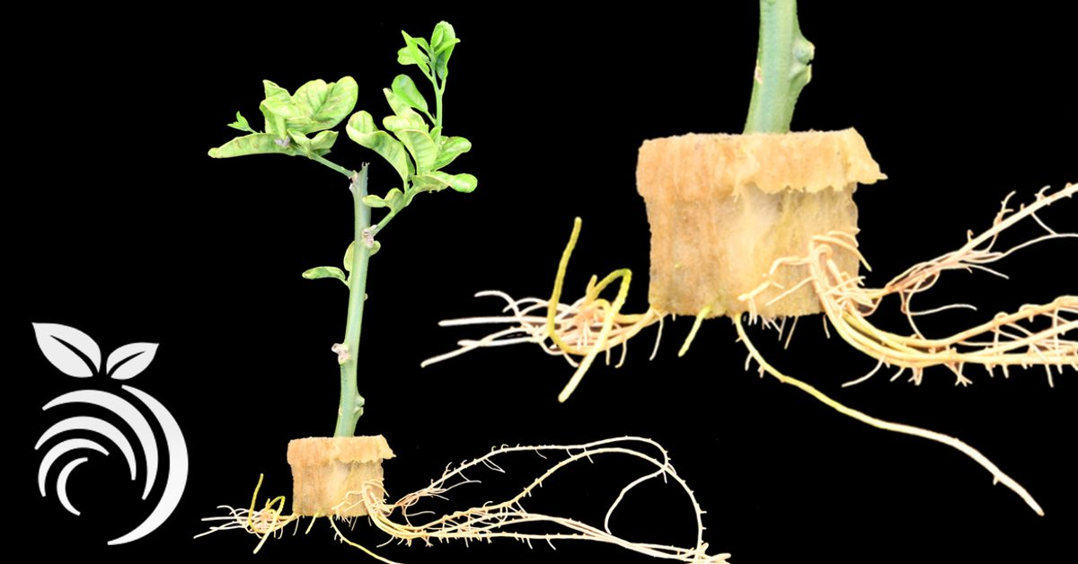 Lemon Law California >> Growing Citrus from Cuttings – How to Root Citrus ...