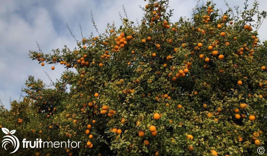 a citrus rootstock tree