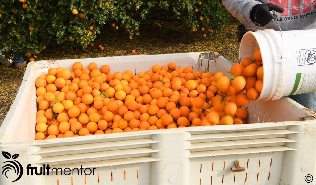 citrus rootstock fruit in crate